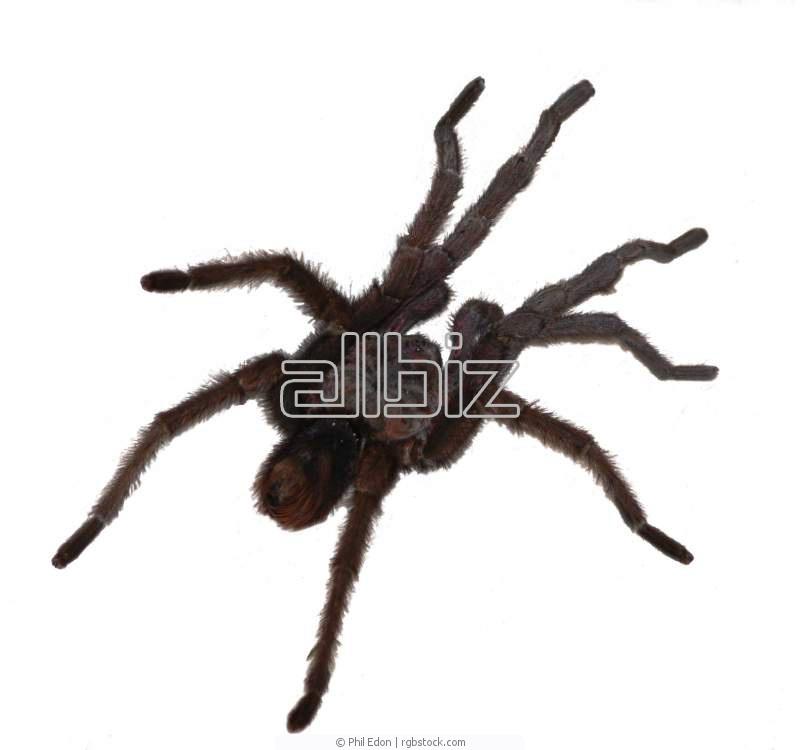 Павуки птахоїди в україні