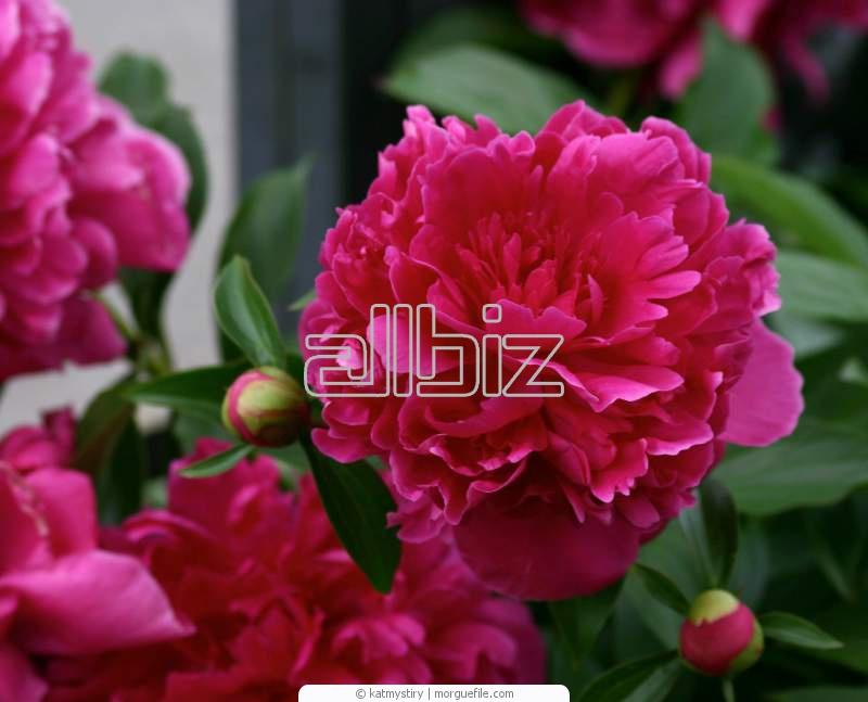 Квіти багаторічні насіння в україні