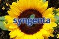 Соняшник Syngenta