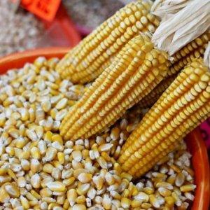 Семена кукурузы украинского производства