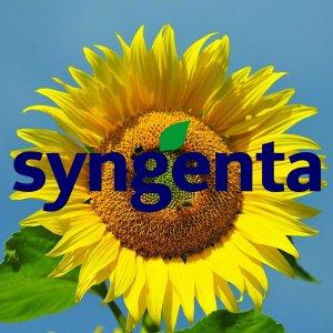 Подсолнечник Syngenta