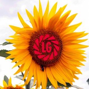 Соняшник Limagrain