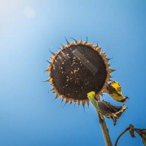 Семена подсолнечника украинского производства