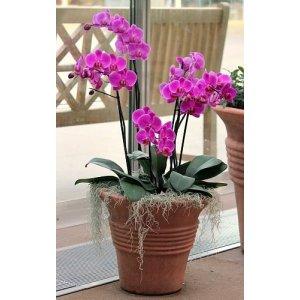Фаленопсис / орхидея