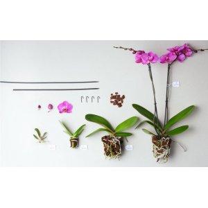 Орхидеи подростки под заказ